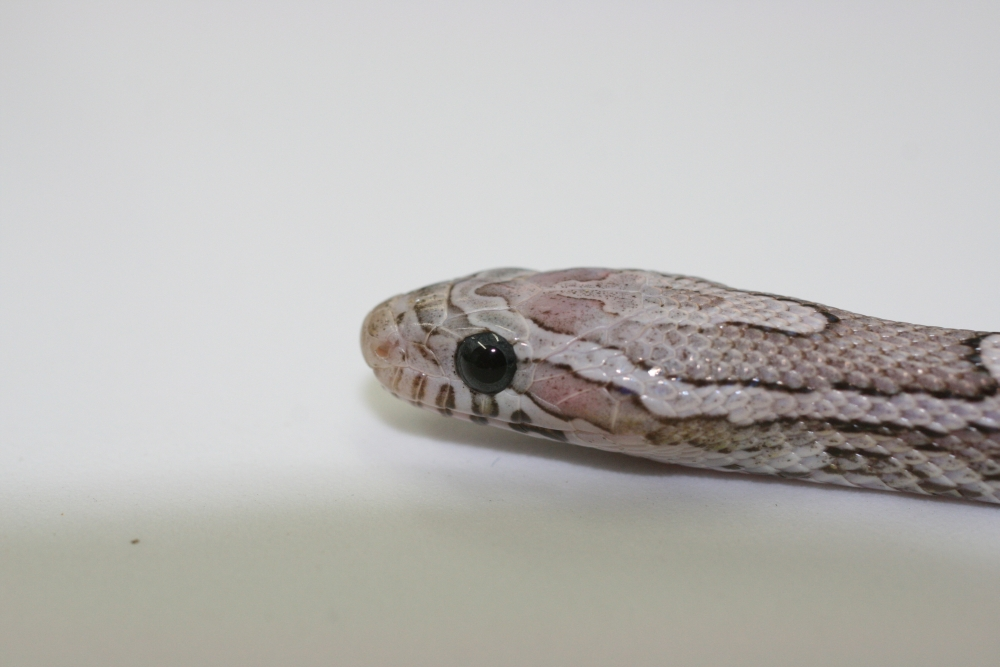 Ghost Corn Snake with Blue Iris close up
