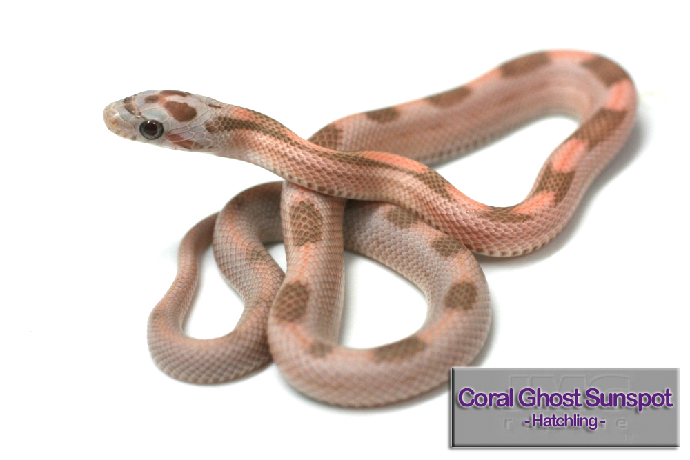 Vanishing Coral Ghost Sunspot Corn Snake