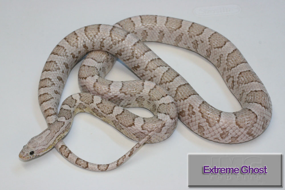 Extreme Ghost Corn Snake