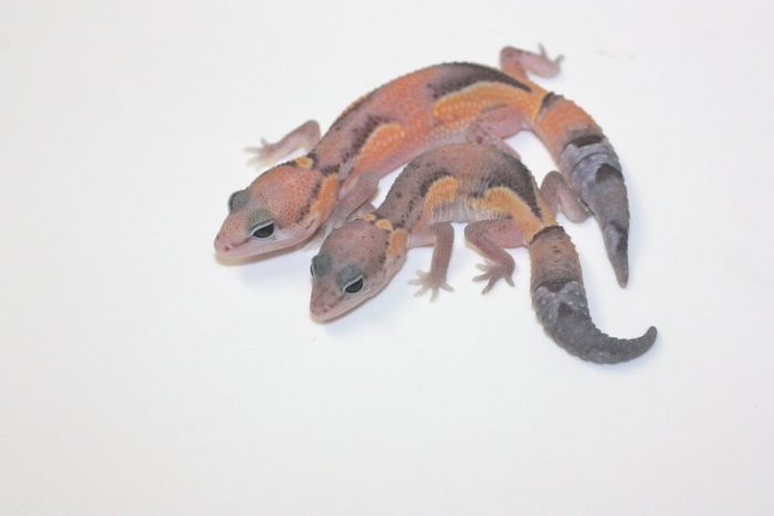 Hidden Gene Zero Fat Tail Gecko