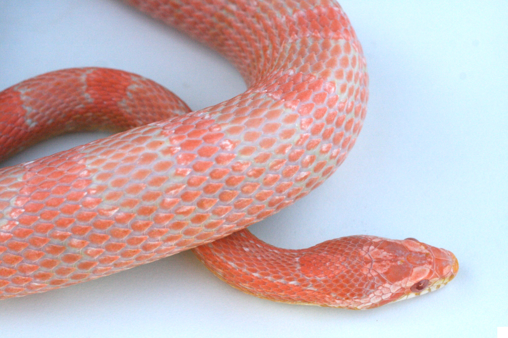 Salmon Snow Corn Snake
