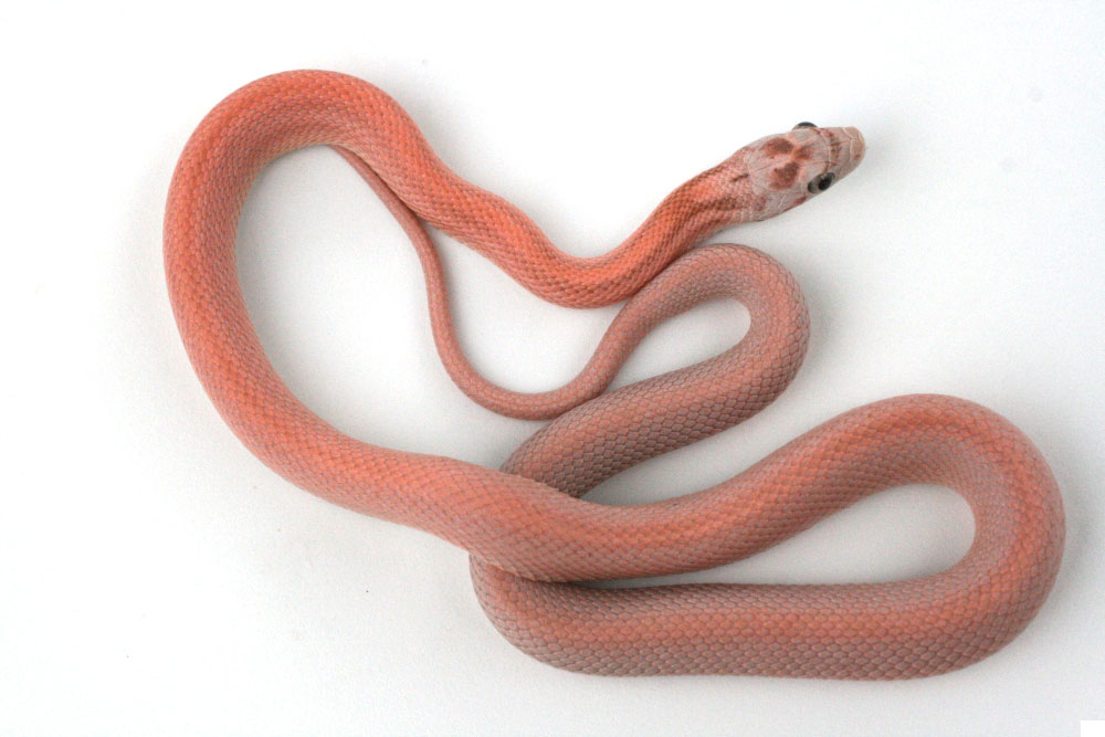 Vanishing Coral Ghost Corn Snake