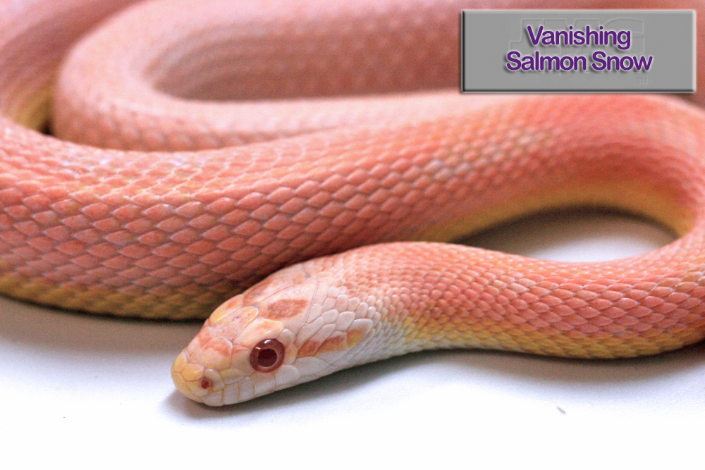 Vanishing Salmon Snow Corn Snake