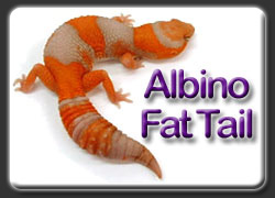 Albion African Fat Tail Gecko