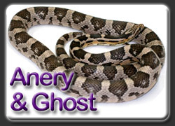 Anery and Ghost Corn Snakes
