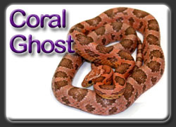 Coral Ghost Corn Snakes