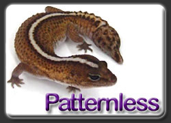 Aberrant African Fat Tail Gecko