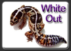 White Out African Fat Tail Gecko